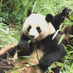 Panda Chengdu 1 C