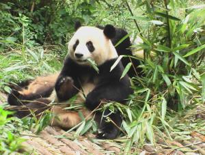 Panda Chengdu 2 C